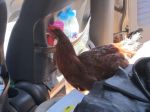 The chicken got loose in the car and had to be tied back up!